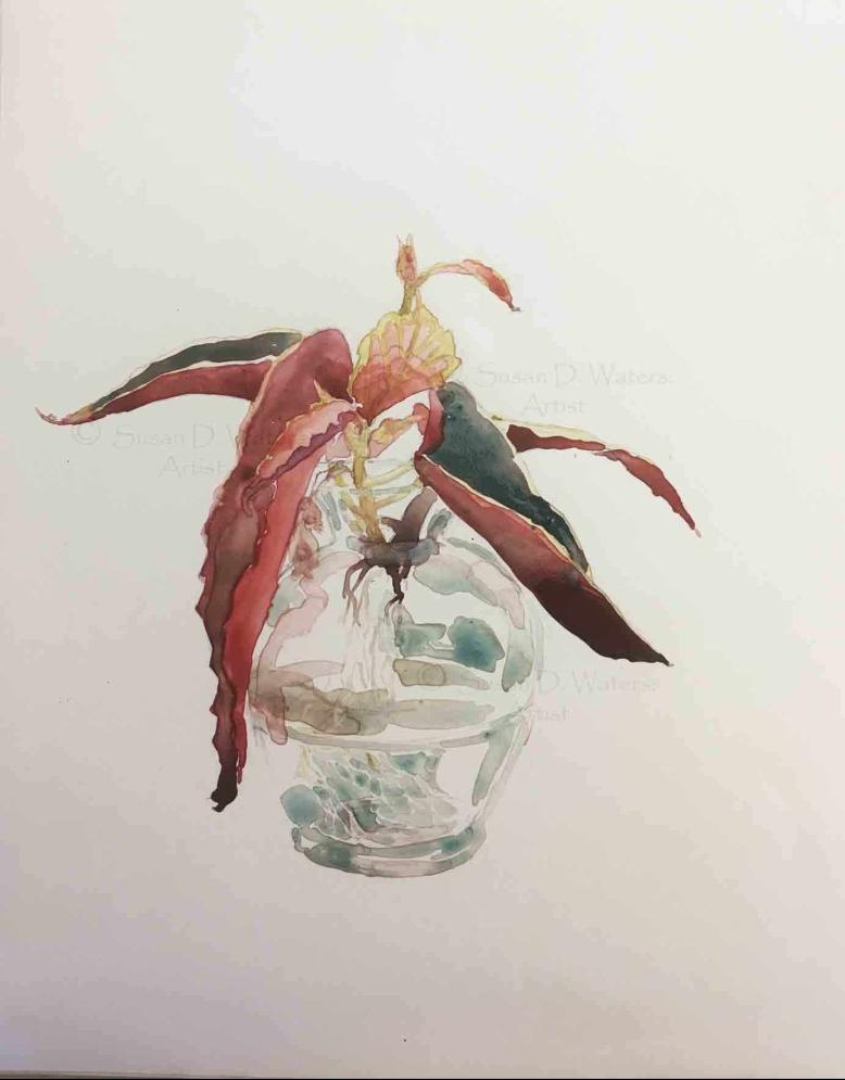 Angel-Wing-Begonia,-Susan-Duke-Waters