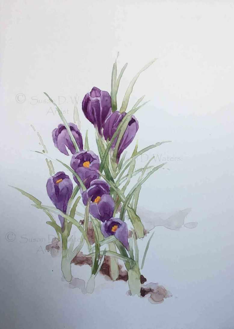 Crocus-in-Snow,-Susan-Duke-Waters