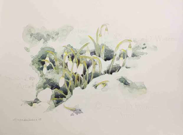 Snowdrops-in-Snow,-Susan-Duke-Waters