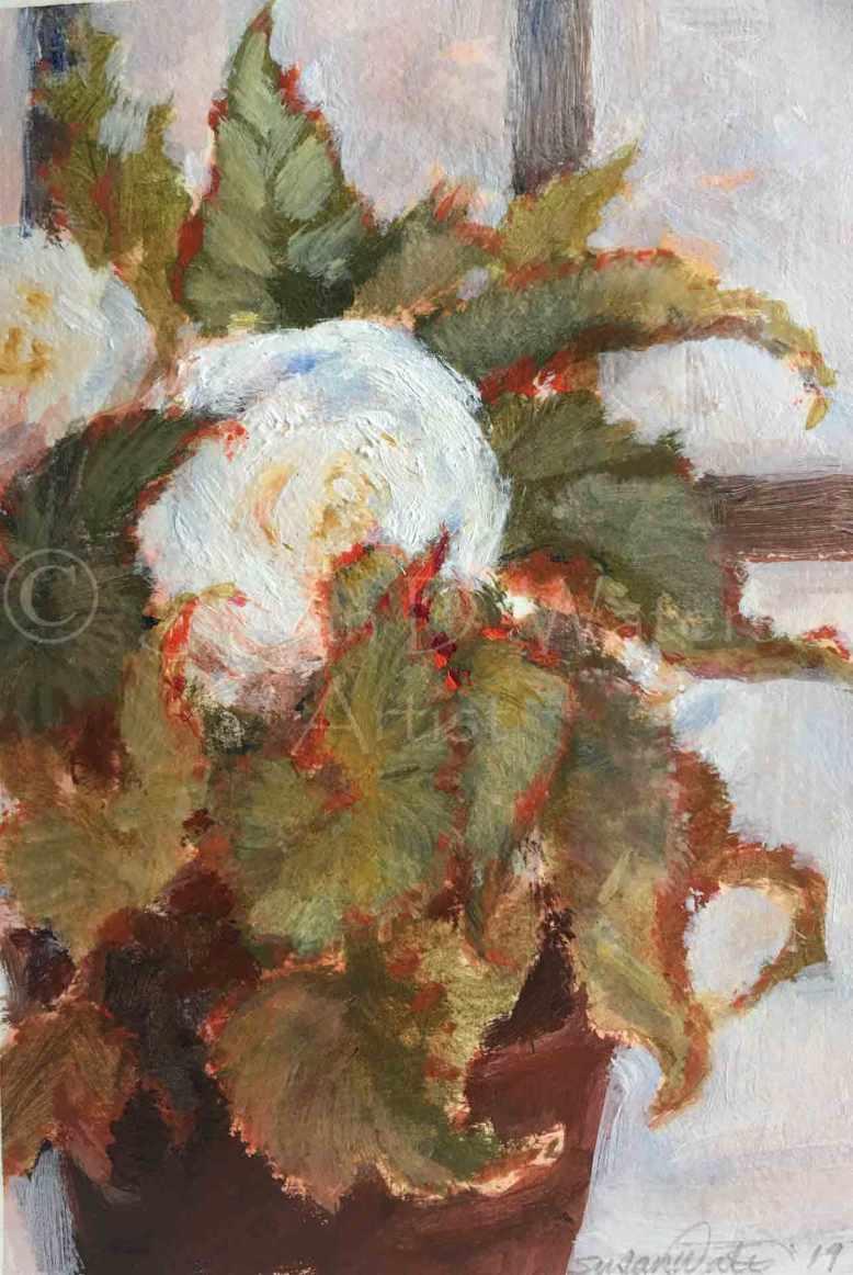 Non-Stop-Begonia,-Susan-Duke-Waters