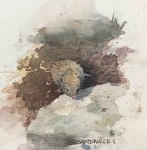 Rockery Shrew, Susan Duke Waters